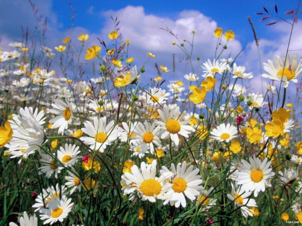Картинки полевых цветов 4