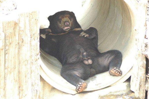 Пенис ведмедя