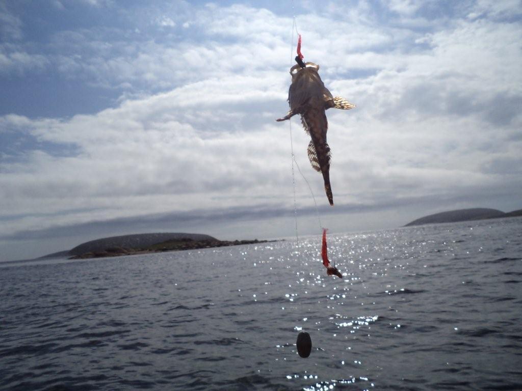 когда ловить треску на белом море